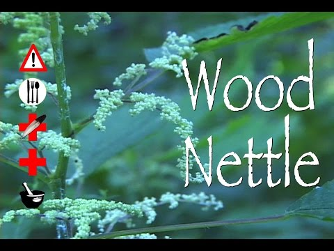 Video Wood Nettle: Edible, Medicinal, Cautions & Other Uses