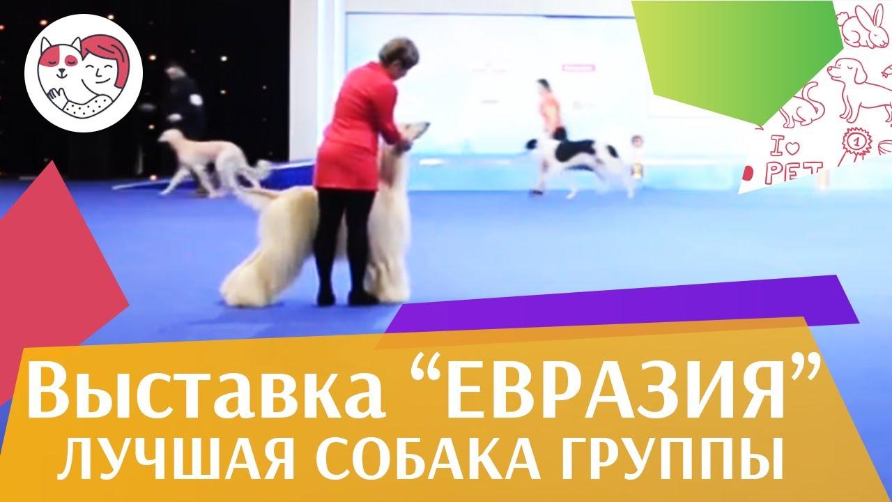 Лучшая собака 10 группы по классификации FCI 19 03 17 на Евразии ilikepet