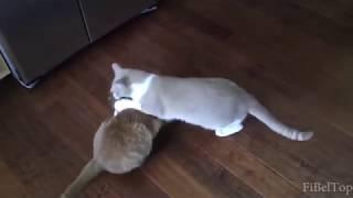 Приколы с кошками и котами 2018!!! Подборка смешных и интересных видео с котиками