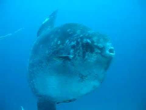 Mola Mola, Mantas, Haie, Padang Bai,Bali,Indonesien