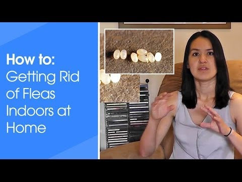 Video How to get rid of fleas indoors