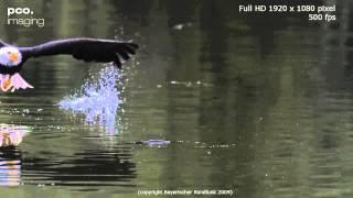 Орлан ловит рыбу