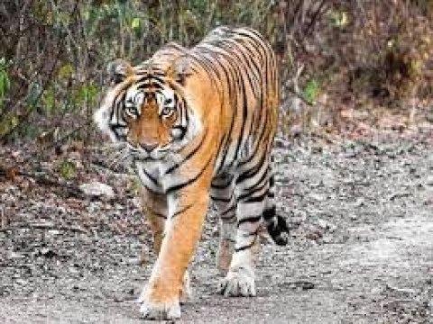 7 Arti Mimpi Dikejar Harimau menurut Primbon Jawa