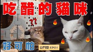 【豆鬥榮 EP01】你敢信?貓咪也會吃醋