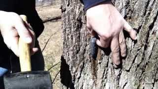 Tapping The Walnut Trees