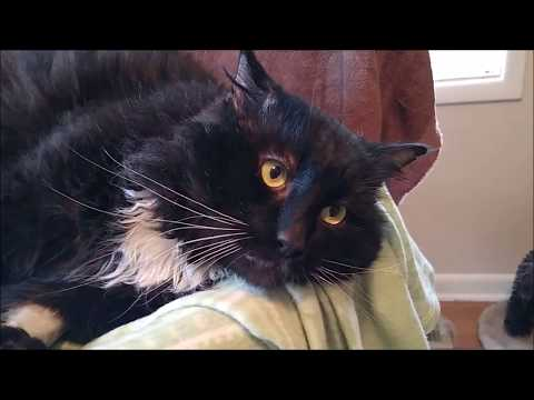 JD Katt, an adoptable Tuxedo & Domestic Long Hair Mix in Springfield, OR