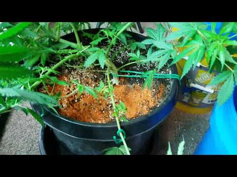 , title : 'HOW TO KILL ROOT APHIDS with CAYENNE PEPPER