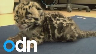 CUTE VIDEO: Baby Leopard Runs Free For First Time