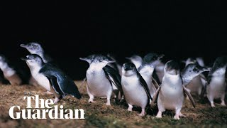 Sports Commentator narrates Australia's penguin parade