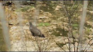 Decorah Eagles~Exploring the Creek-Getting Run off By Black Birds_7.1.20