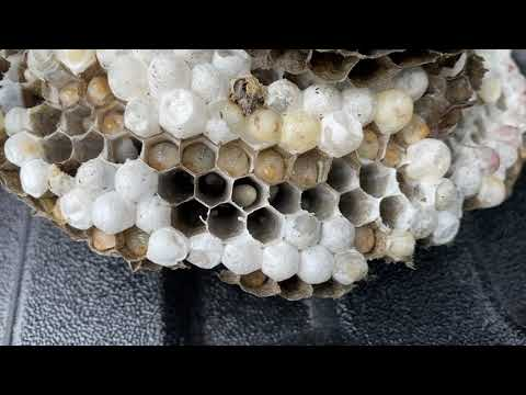 The Inside of a Bald-Faced Hornets Nest in...