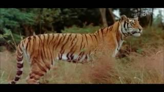 Royal Bengal Tiger: An Endangered Species