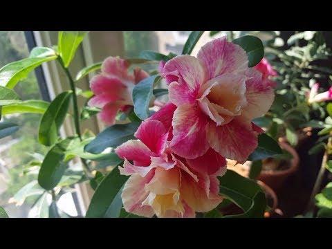 Результат весенней пересадки Адениума. Когда раздевать прививки. И чудесное цветение!