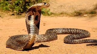 Bí mật rắn hổ mang chúa - Thiên nhiên hoang dã full HD Thuyết minh