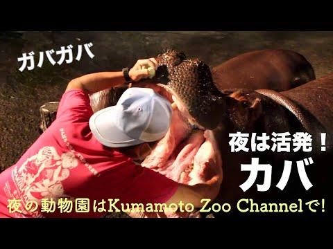 【夜間開園】夜の動物園でモモコとソラに会ってきたよ! 【Hippopotamus】