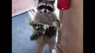 TOP 5 best video from raccoons . funny raccoon.