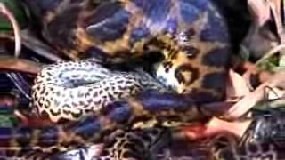 Pregnancy Serpent Snake Python Anaconda In AMAZON - Nascimento De Serpente