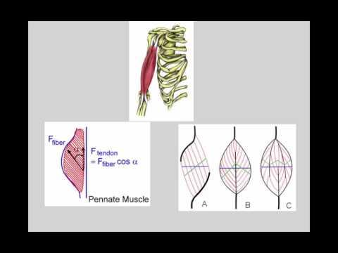 Le home-trainer professionnel pour les muscles des abdominaux