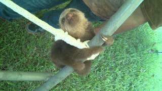 Смотреть онлайн Маленькие ленивцы учатся лазить по деревьям