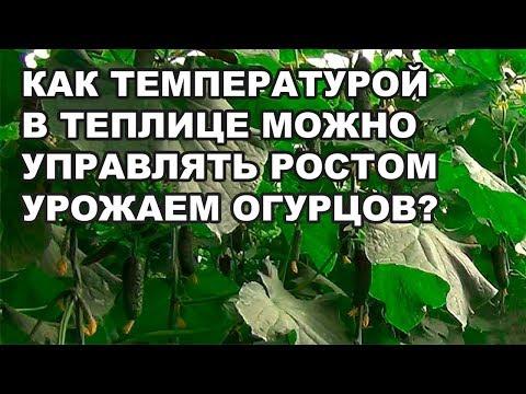 Как температурой в теплице можно управлять ростом и урожаем огурцов? (01-10-2018)