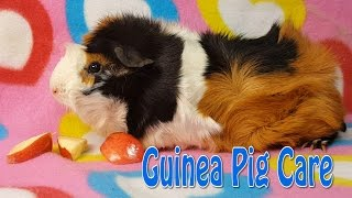 Guinea Pig Care - Requested