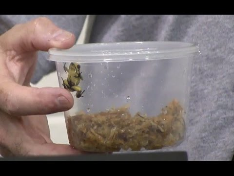 Under the Canopy Farms Dart Frog Presentation Part 1 of 3 at Repticon Tampa