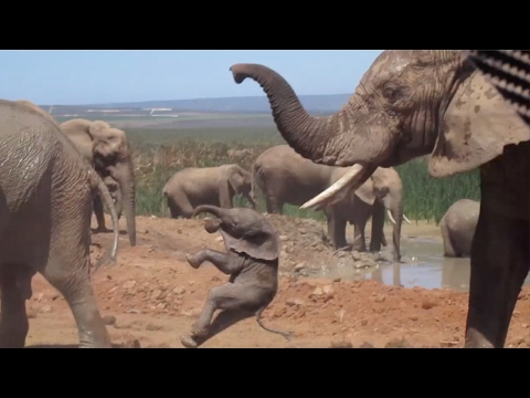 Download Baby Elephant Being Thrown Around By Bull HD Mp4 3GP Video and MP3