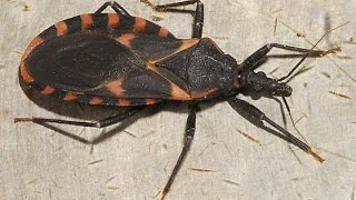 THE FATAL KISSING BUG (EVERYTHING YOU NEED TO KNOW)