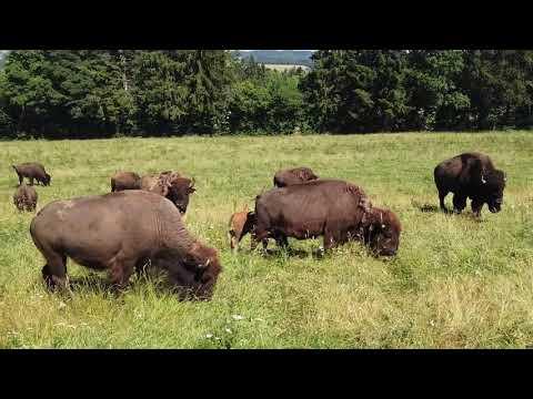 Les bisons du Sachuron