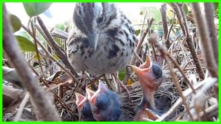 9 DAYS IN THE NEST - Baby Birds fom Egg to Fledgling a Compilation