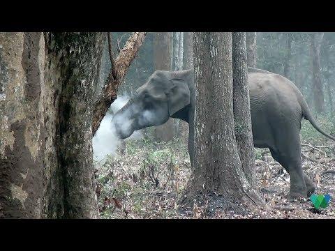 Дымящая слониха