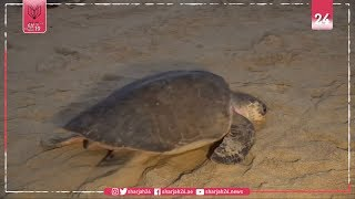 Sargasso sea turtles threatened by high levels of microplastic