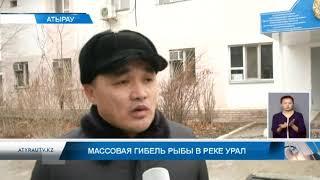 Массовая гибель рыбы в реке Урал