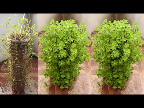 What a Clever Trick! Reusing Plastic Bottles to Grow Mint