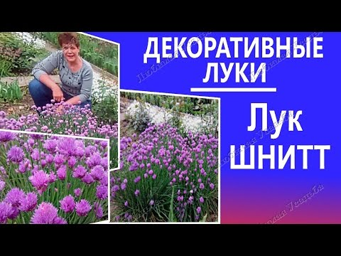 Декоративные луки  Лук ШНИТТ