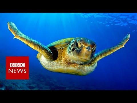 Warmer seas 'turning turtles female' – BBC News
