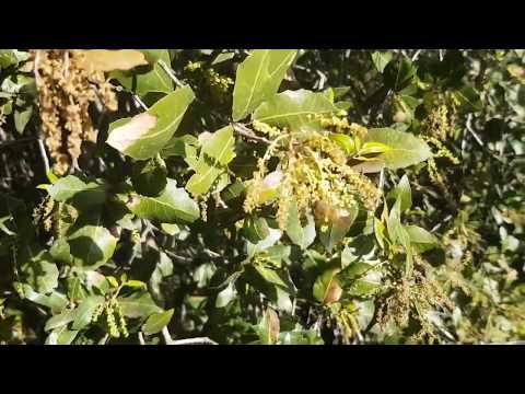 23.01.2019 дуб цветёт и пчела активно собирает с него обножку