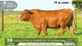 Touro Senepol PO CONQ-0775