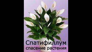 Спатифиллум Спасение растения Пересадка цветка женское счастье