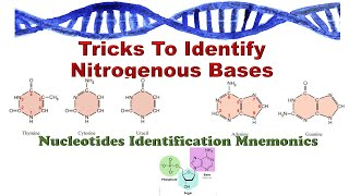 Nitrogenous bases structure identification with a simple trick: For dummies