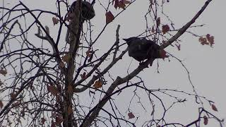 # природа Шатуры,  Птицы с хохолками  22,10,2018