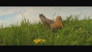 Syb van der Ploeg - De koning van de weide [Gruttolied - Official Video]