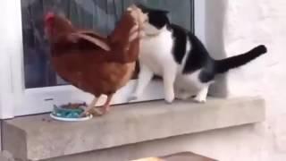 Курица отжала еду у кота