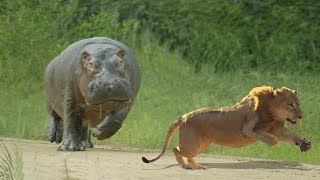 Big Battle: Lion Vs Hippo | Baby Hippo Protect His Mother Injured From Lion