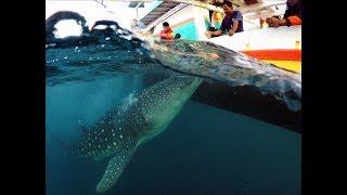 "Pakek Torok ""The Whale Shark"" Teluk Saleh, Labuhan Jambu, Sumbawa NTB"