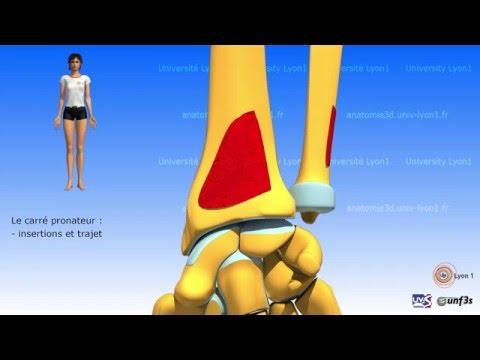 Les propriétés cordial les muscles