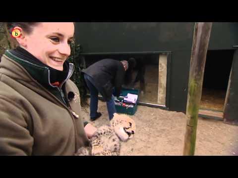Cheeta's zijn drie broertjes en zusje in Zoo Parc Overloon