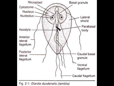 Condiloame în anus simptome și tratament