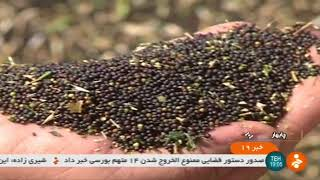 Iran Mechanized Canola harvest, Chabahar county برداشت كلزا شهرستان چابهار ايران