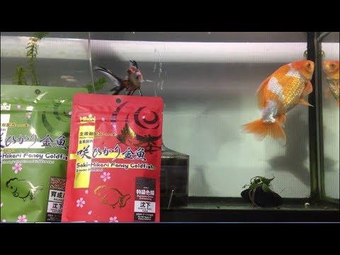 うちの金魚は色揚げ用のエサで赤くなるのか その1【アクアリウム】
